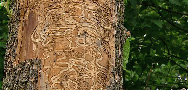 Service and treatment for Emerald Ash Borer in Montreal