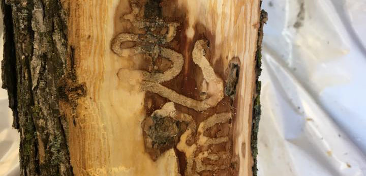 Service and treatment for emerald ash borer