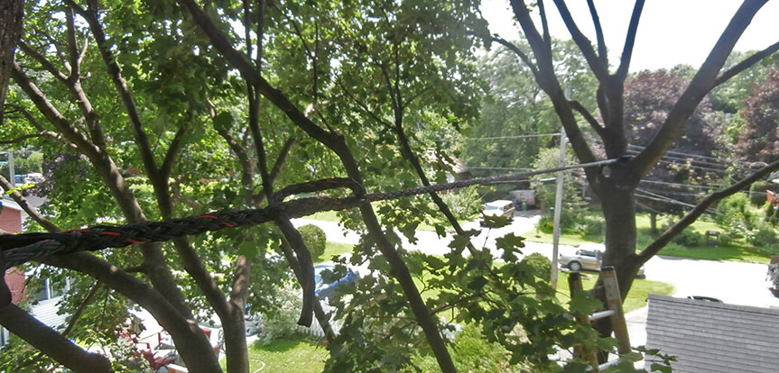Service tree bracing with rope in Montreal