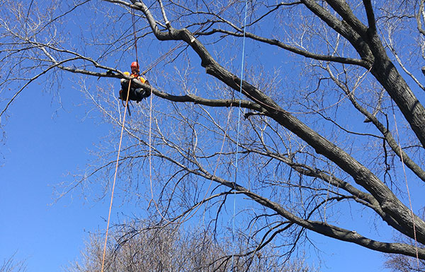 Professional services for the pruning of trees and branches Montréal
